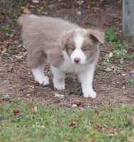 Bailey 7 weeks (Mylee and Zen pup)