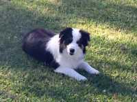 Bella - Marla and Rocq pup