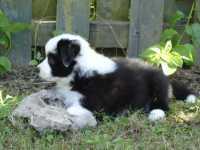 Baci - Mia and Teddy Jr 6 weeks